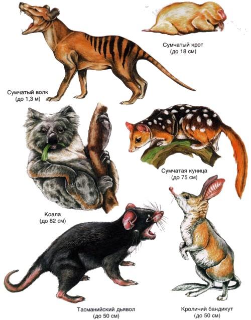 Животные австралия